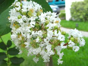 [tree flowers]