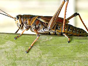 [grasshopper]