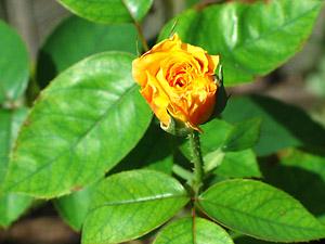 [rosebud]
