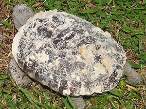 [turtle 2]