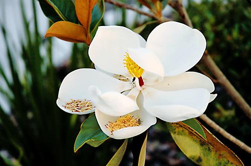 [magnolia]